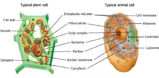 File Simple Diagram Of Animal Cell En Svg Manual Guide