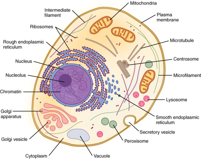 Enjoyable Animal Cell Parts And Functions Withcarbon Wiring Cloud Vieworaidewilluminateatxorg