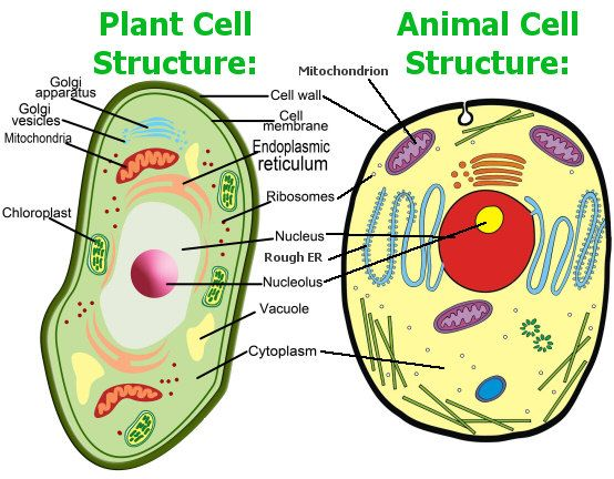 Awe Inspiring Animal Cell Model Diagram Project Parts Structure Labeled Coloring Wiring Cloud Rometaidewilluminateatxorg