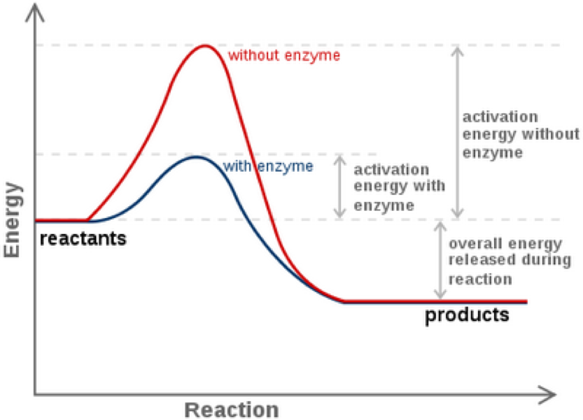 Peachy Enzymes And Reaction Rates Wiring Cloud Eachirenstrafr09Org