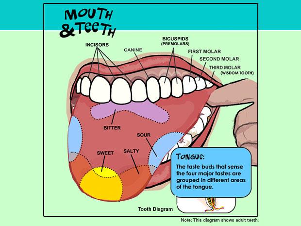 Cool Mouth And Teeth Wiring Cloud Histehirlexornumapkesianilluminateatxorg