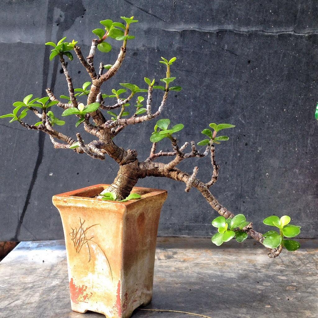 Fine A Small Cascade Dwarf Jade Bonsai Adams Art And Bonsai Blog Wiring Cloud Monangrecoveryedborg