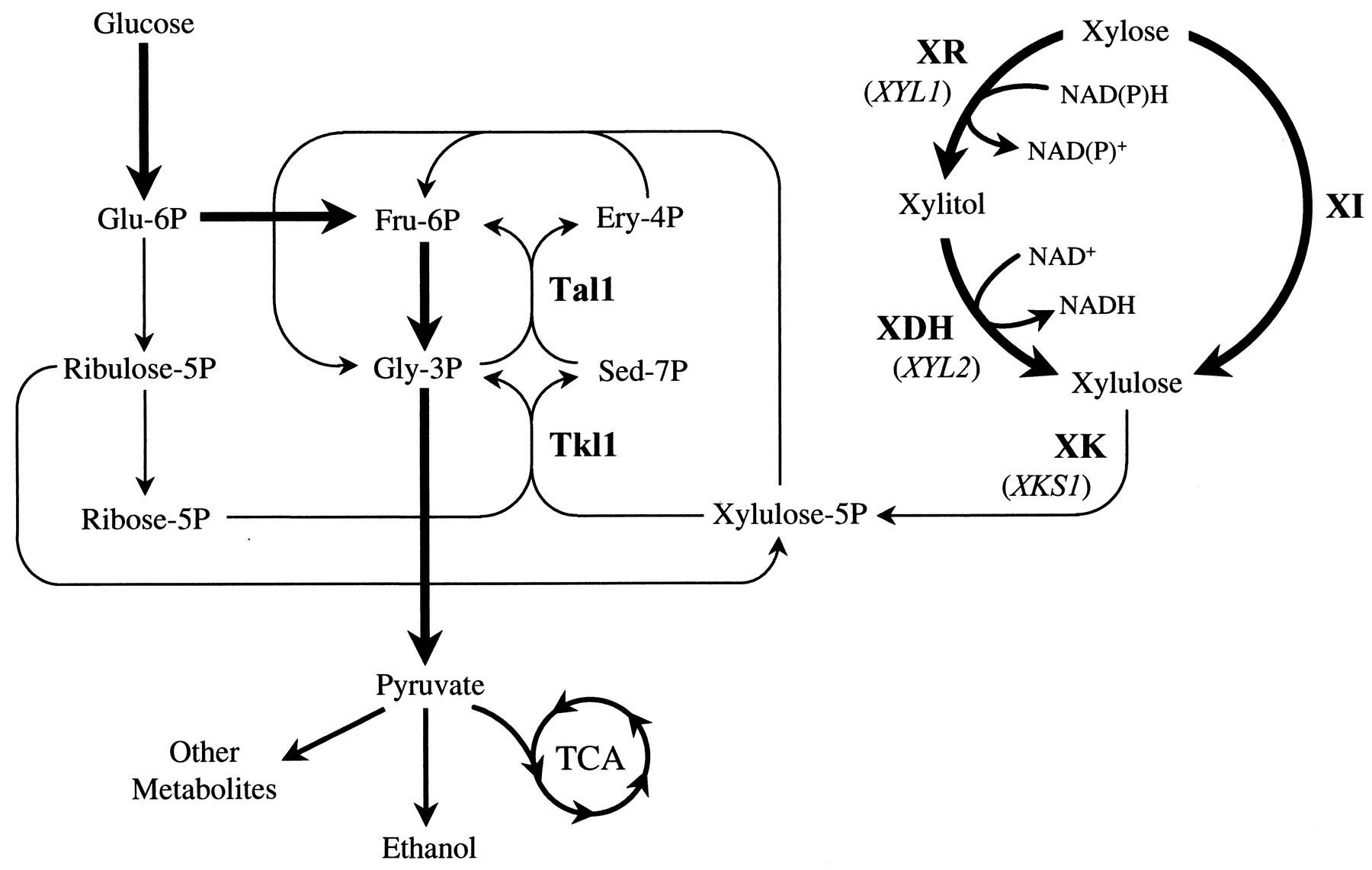 Incredible Xylulose 5 Phosphate Auto Electrical Wiring Diagram Wiring Cloud Vieworaidewilluminateatxorg