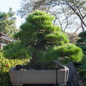 Brilliant Wiring A Large Japanese Black Pine Bonsai Tonight Wiring Cloud Staixaidewilluminateatxorg