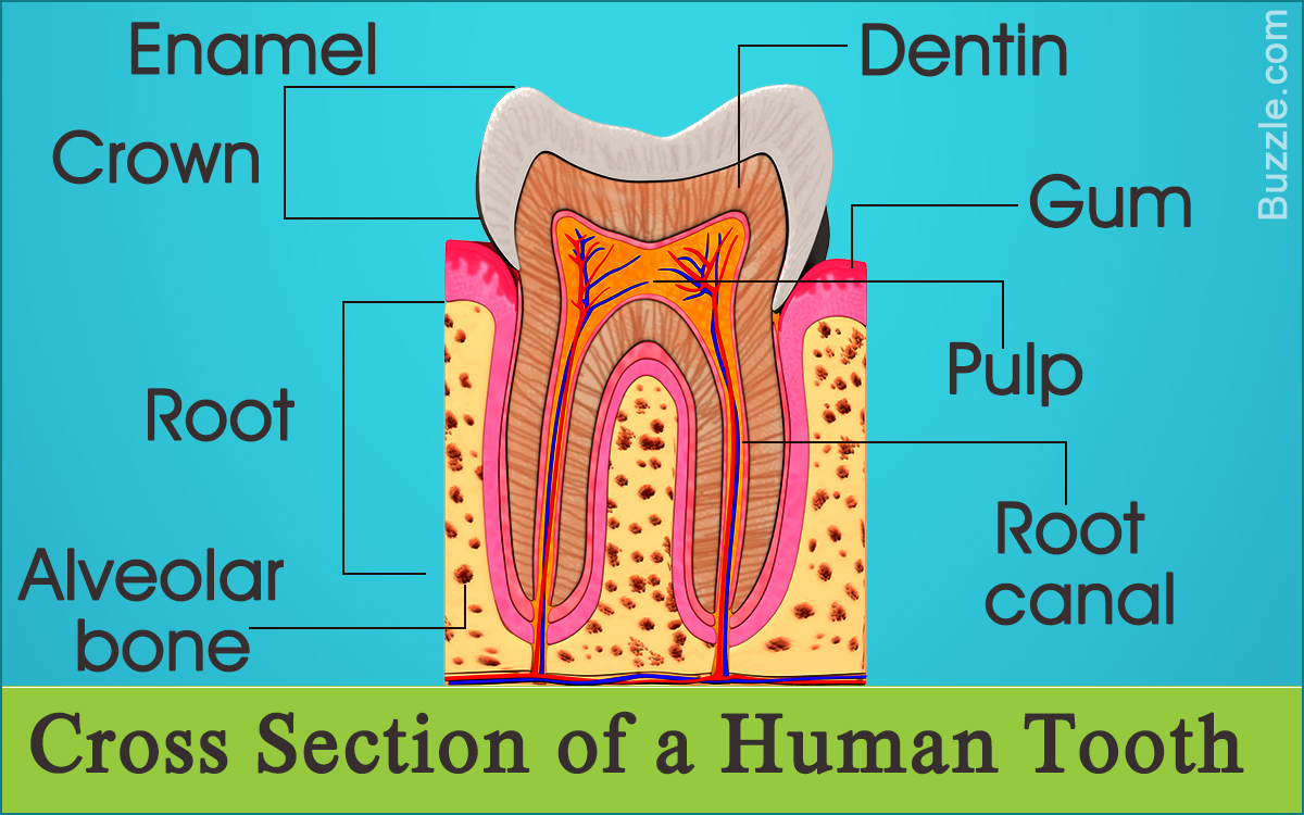 Enjoyable Information About The Human Tooth Anatomy With Labeled Diagrams Wiring Cloud Onicaalyptbenolwigegmohammedshrineorg
