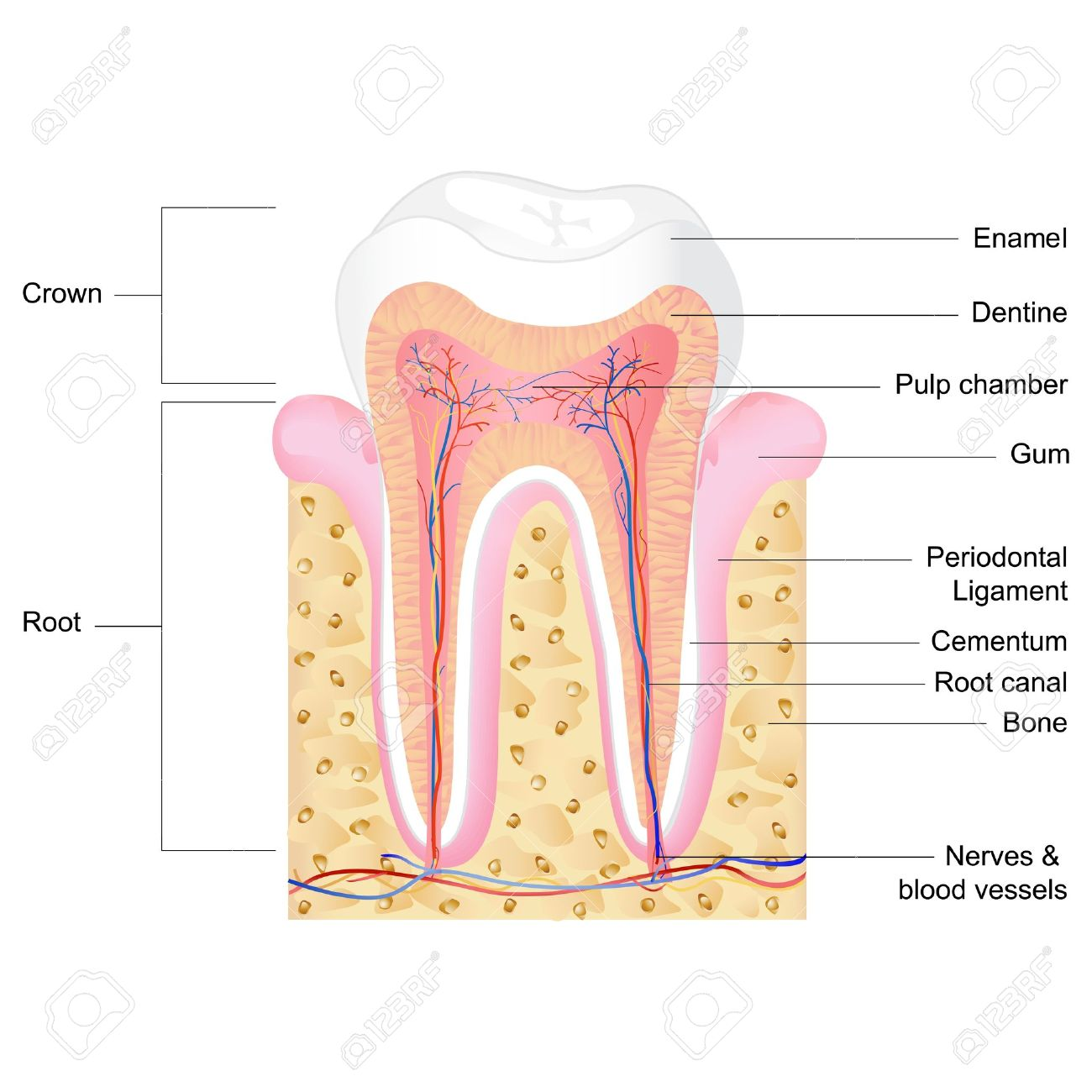 Fabulous Vector Illustration Of Human Tooth Anatomy With Label Royalty Free Wiring Cloud Waroletkolfr09Org