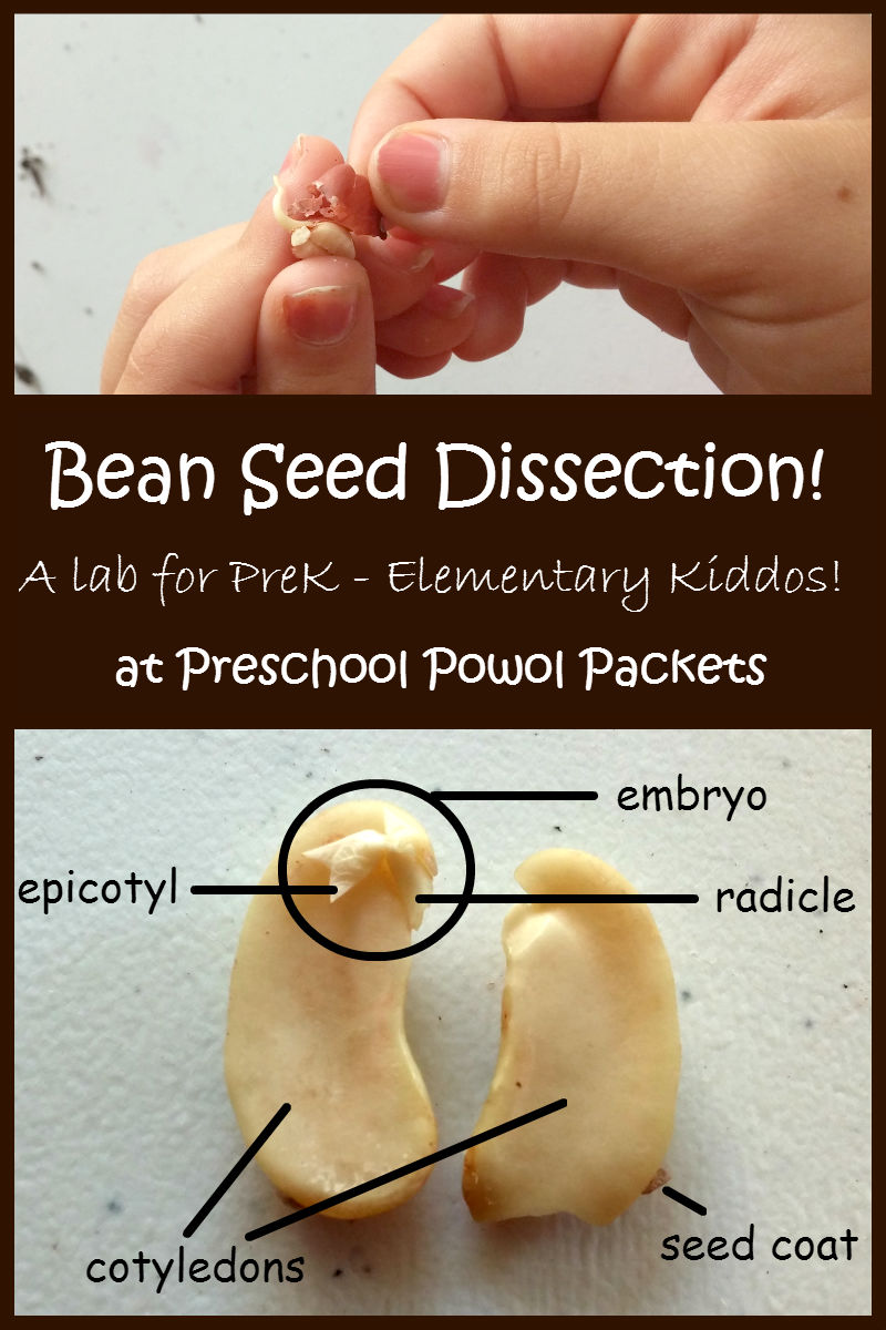 Awe Inspiring Dissect A Bean Seed Lab Preschool Powol Packets Wiring Cloud Eachirenstrafr09Org