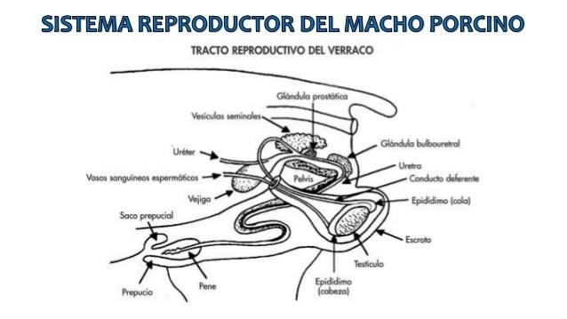 Admirable Aparato Reproductor Del Macho Auto Electrical Wiring Diagram Wiring Cloud Hemtshollocom