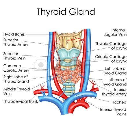 Nf 6283 Blank Thyroid Diagram Free Diagram