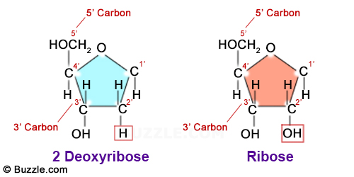 diagram of ribose deoxy od 6056  diagram of ribose free diagram  od 6056  diagram of ribose free diagram