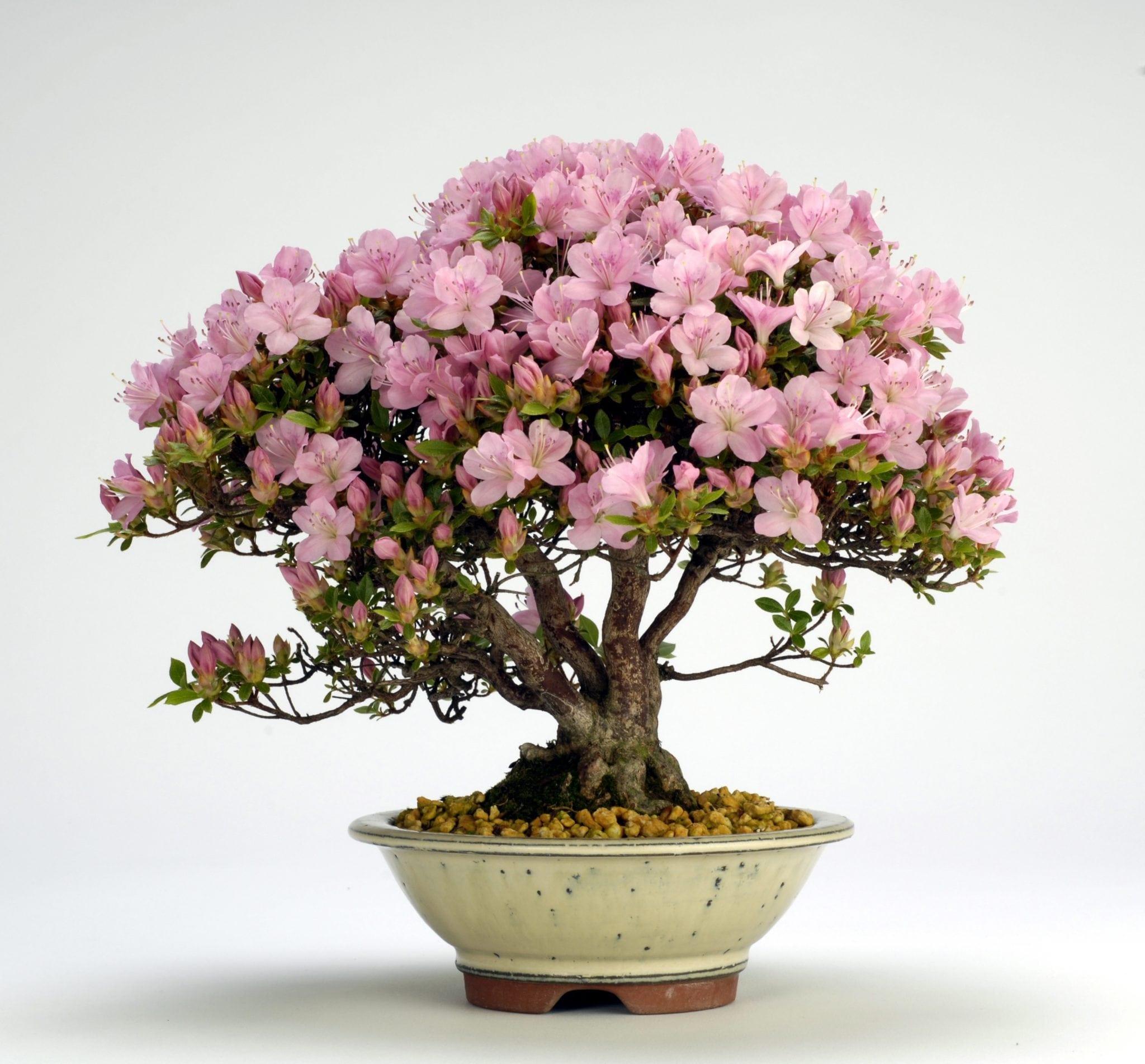 цветок бонсай фото предлагается просторное размещения