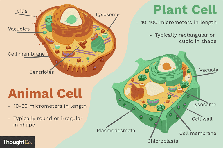 Superb Differences Between Plant And Animal Cells Wiring Cloud Rometaidewilluminateatxorg